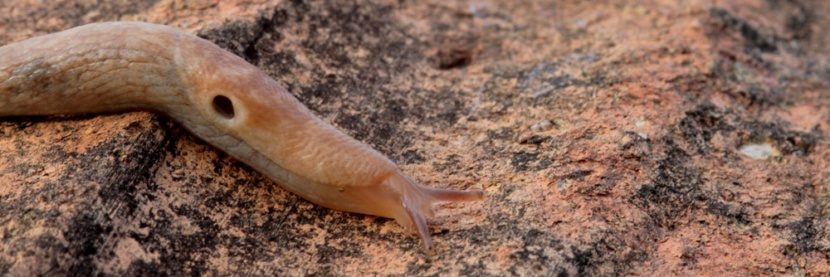 limacidae